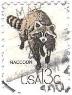 タヌキ(Raccoon、USA)