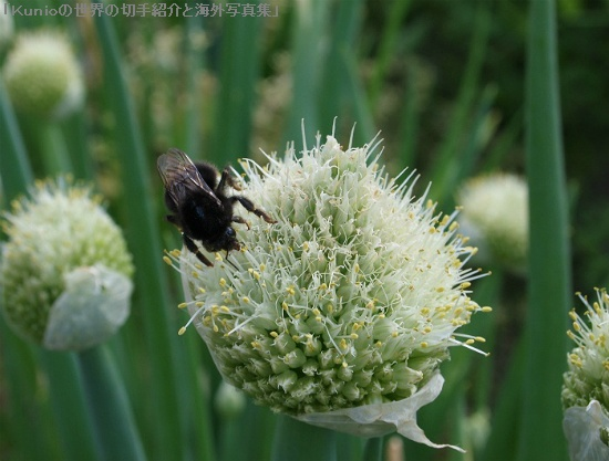 ネギ坊主(ネギぼうず、Allium fistulosum、Japanese bunching onion )