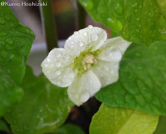 ホオズキ(鬼灯、酸漿、Chinese lantern plant)の花  ホオズキ(鬼灯、酸漿)