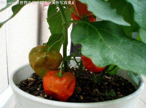 ホオズキ(鬼灯、酸漿) レモン(檸檬、英語: lemon、学名: Citrus limon)