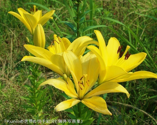 ユリ(百合) ■ユリ属は以下の亜属に分類される。 ヤマユリ亜属(Archelirio... 花の